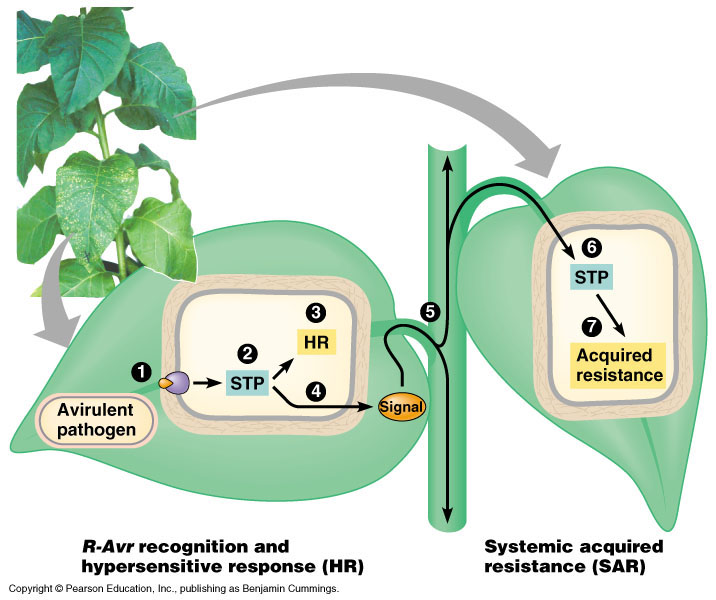 plants responses into water stress The complex relationship between water and grapevine has been examined in several studies the aim of this study was to understand the impact of water stress on photosynthesis, carbon-13 discrimination in leaves in different positions on the shoot, and the capacity of vines to recover from different levels of water stress intensity.