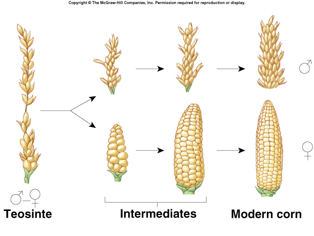 Natural Corn Vs Modern Corn
